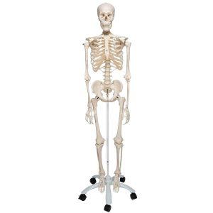 Skeleton Model: Top Gifts For Med Students